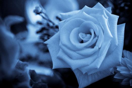 blue_rose_2.jpg