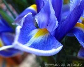 floare_iris_poze_flori.jpg